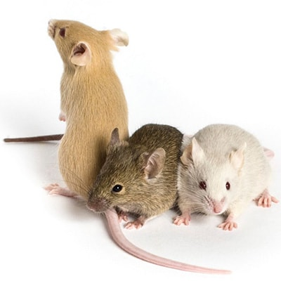 Mice Pest Control Salisbury East