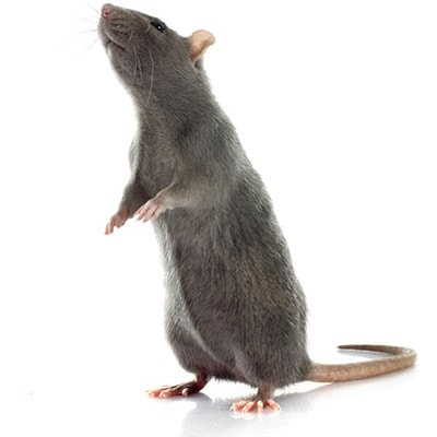 Rat Pest Control Salisbury East
