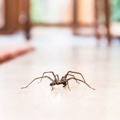 spider pest control in Adelaide